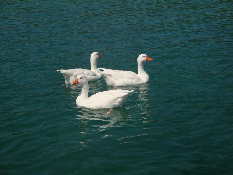 013. White geese - Lake Kournas (Η λίμνη Κουρνά)