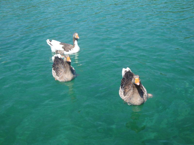 014. Multicolored geese - Lake Kournas (Η λίμνη Κουρνά)