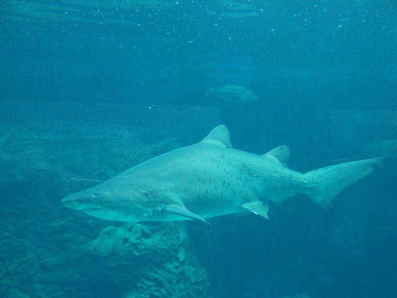 071. Shark - Cretaquarium (Θαλασσόκοσμος)