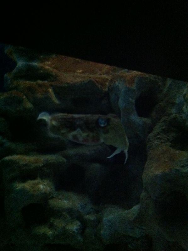 080. Cuttle-fish - Cretaquarium (Θαλασσόκοσμος)