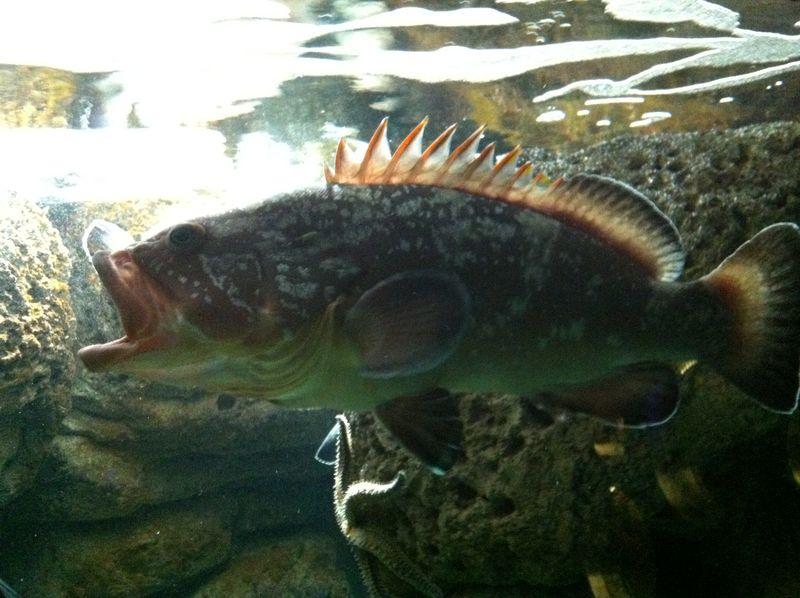 081. Surprised fish - Dusky Grouper. Cretaquarium (Θαλασσόκοσμος)