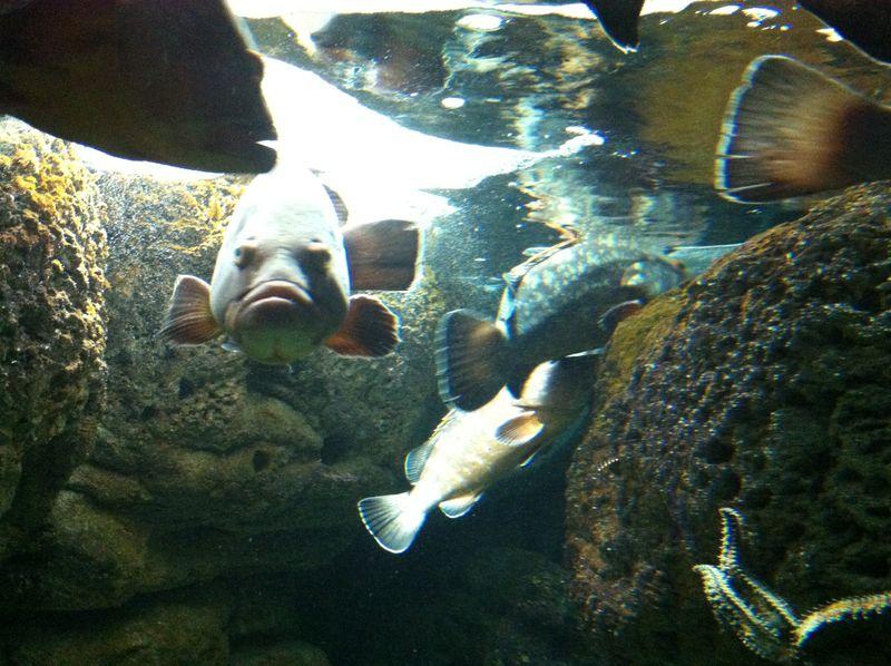 082. Whole shoal of groupers - Cretaquarium (Θαλασσόκοσμος)