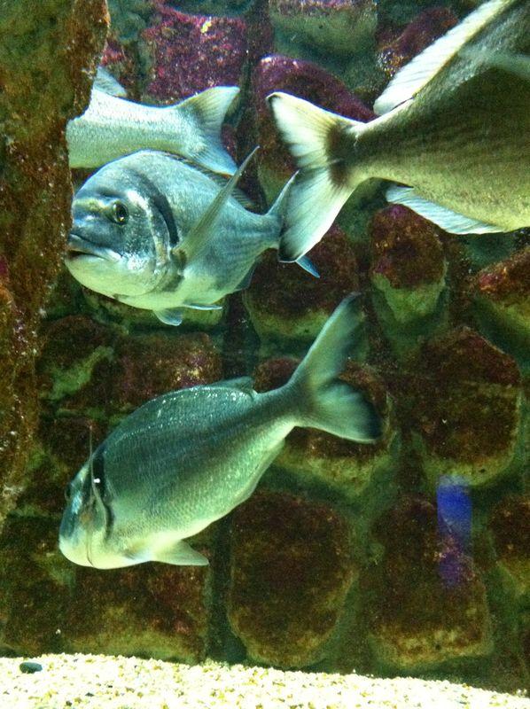 083. Silvery shoal - Dentex dentex. Cretaquarium (Θαλασσόκοσμος)