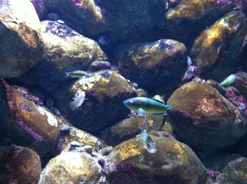 085. Small fish - Thalassoma pavo. Cretaquarium (Θαλασσόκοσμος)