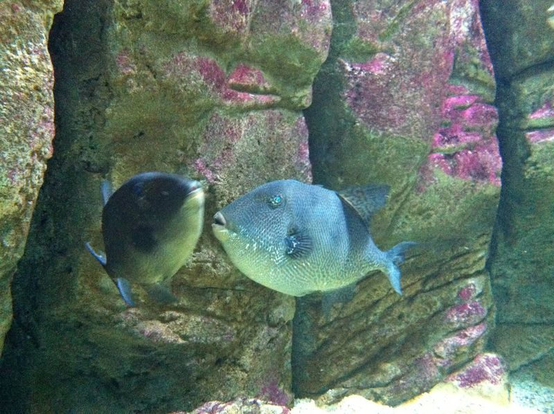 086. Grey triggerfish - Cretaquarium (Θαλασσόκοσμος)