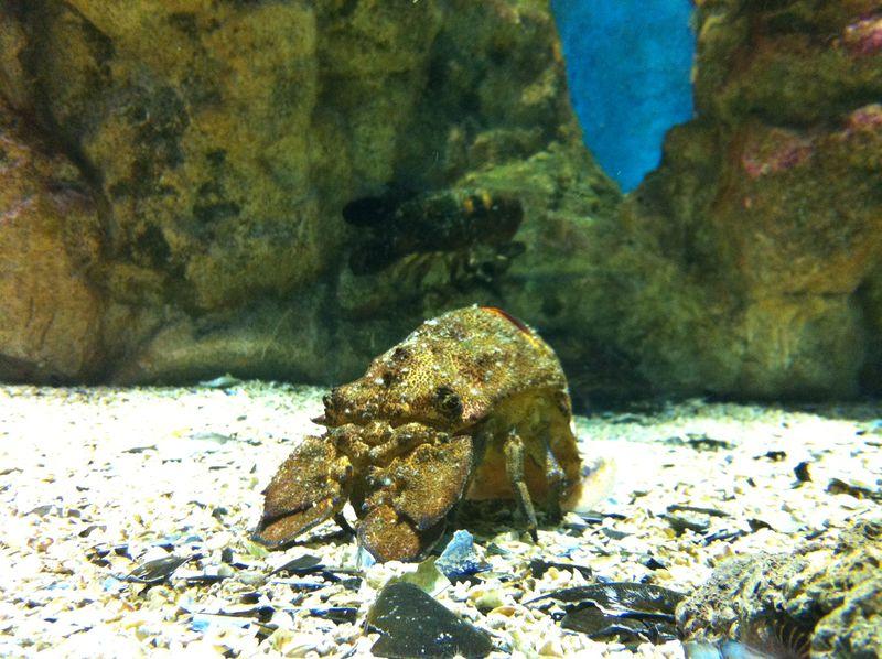 087. Clamkiller Spanish lobster - Cretaquarium (Θαλασσόκοσμος)