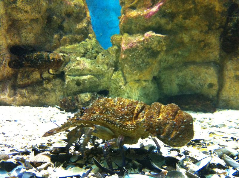 088. Clamkiller Spanish lobster - half face - Cretaquarium (Θαλασσόκοσμος)