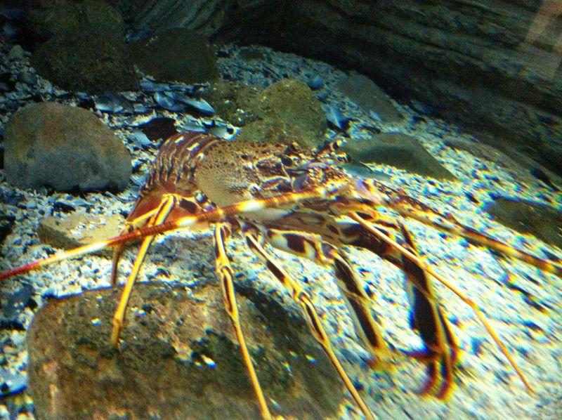 089. Spiny lobster (Palinurus elephas) - Cretaquarium (Θαλασσόκοσμος)