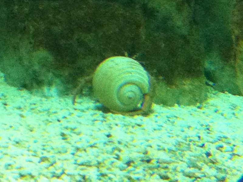 094. White shelter of a big soldier-crab - Cretaquarium (Θαλασσόκοσμος)