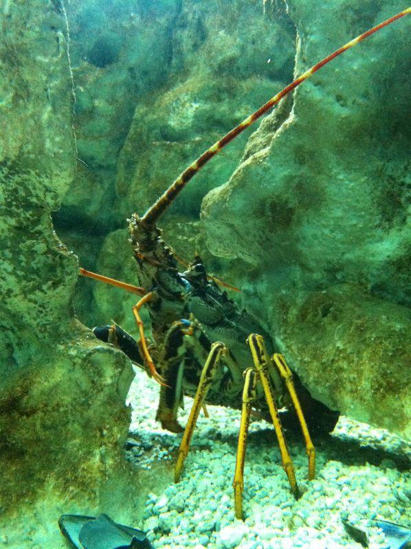 095. Spiny lobster - Cretaquarium (Θαλασσόκοσμος)