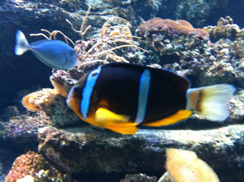 099. Clownfish - Cretaquarium (Θαλασσόκοσμος)