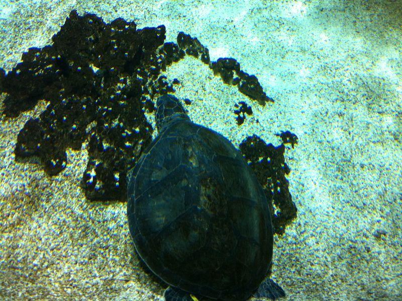 100. Sea turtle - Caretta caretta. Cretaquarium (Θαλασσόκοσμος)