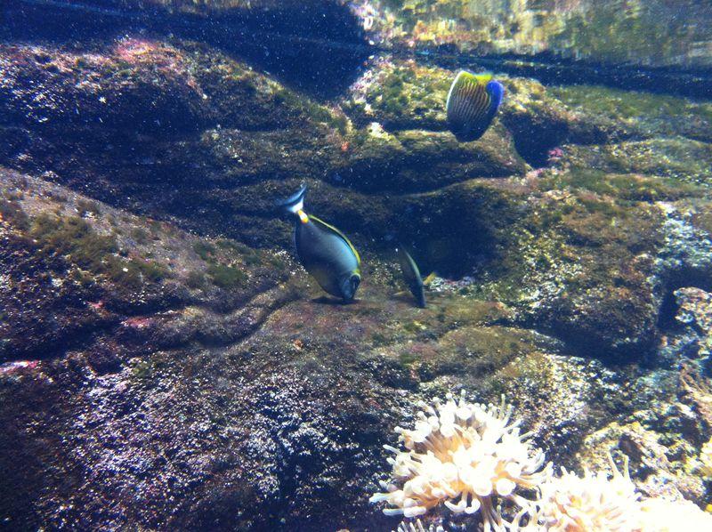 102. Surgeonfish and Angelfish - Cretaquarium (Θαλασσόκοσμος)