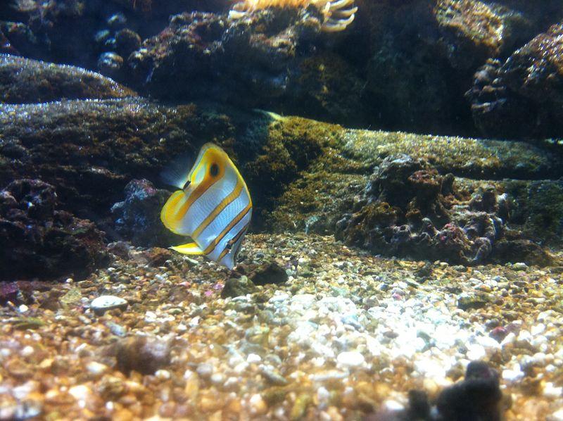 103. Angelfish - Cretaquarium (Θαλασσόκοσμος)