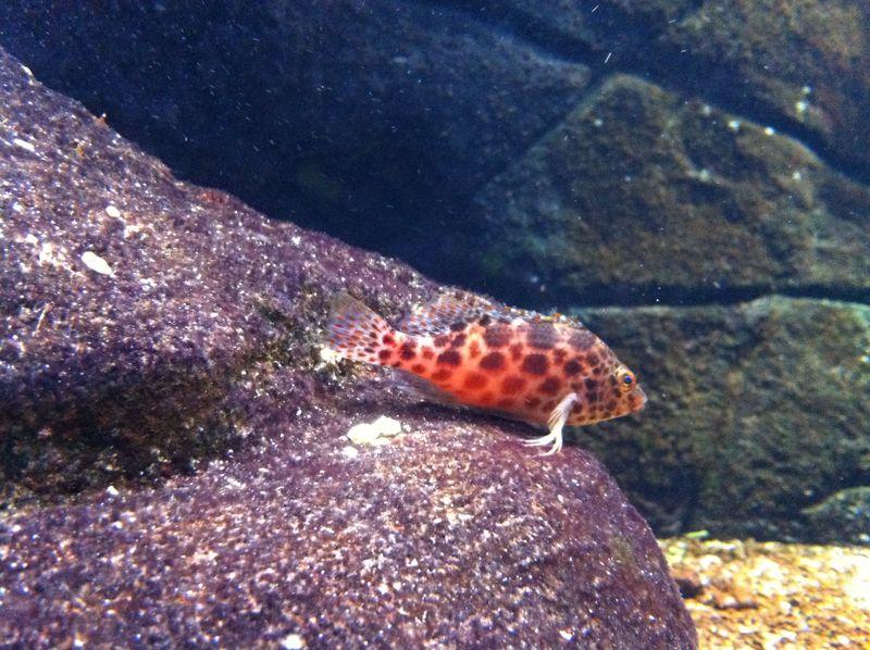 104. Spotted Hawkfish - Cretaquarium (Θαλασσόκοσμος)