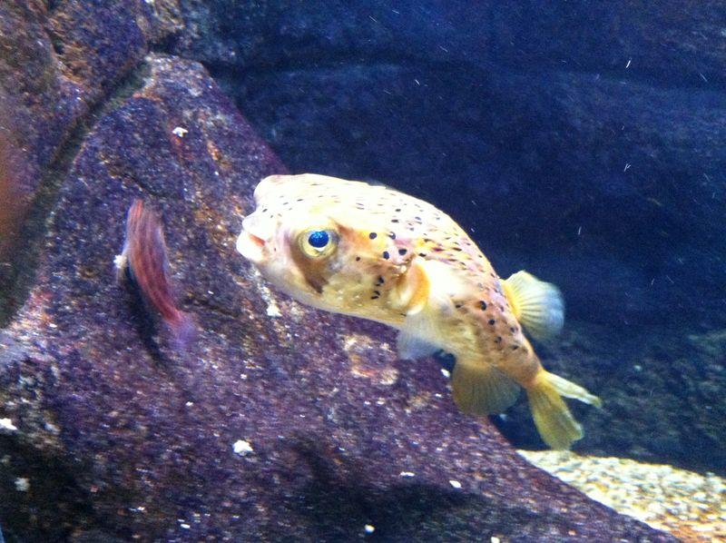 105. Funny pop-eyed porcupine fish - Cretaquarium (Θαλασσόκοσμος)