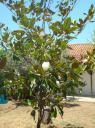 047. Magnolia blossom as a gift -