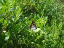050. Butterfly of Skopelos -