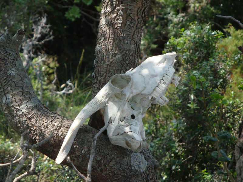 Goat scull on the way to Sendoukia tombs (Σεντούκια)