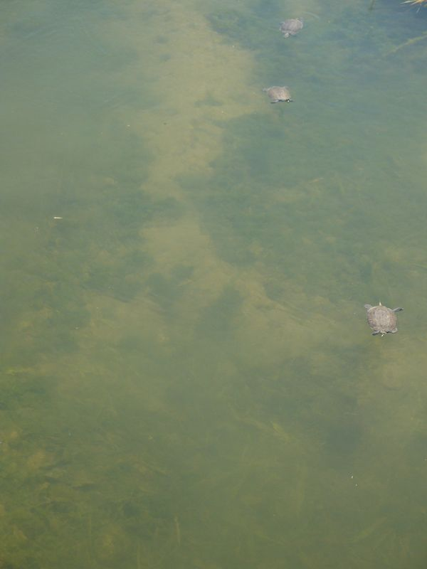008. Three turtles - Damnoni beach, South Crete