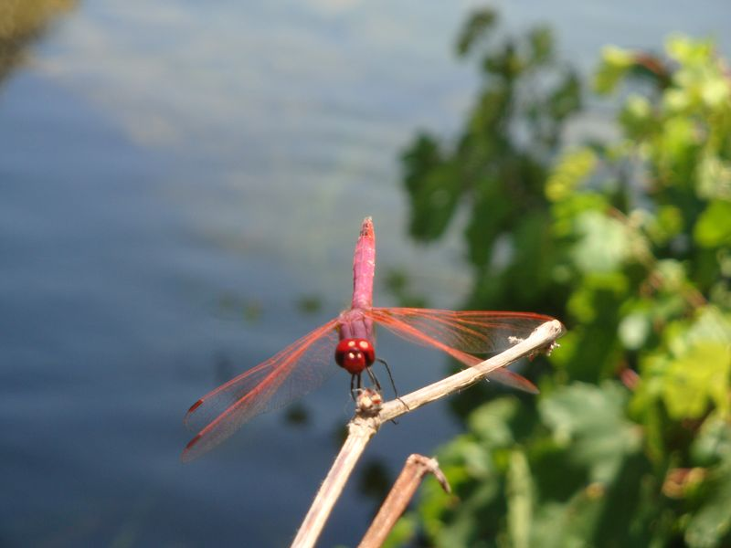 009. Hot pink dragonfly - There are lovely, big dragonflies of bright pink and blue colors on the rivers of South Crete. Damnoni beach (η παραλία Δαμνόνι).