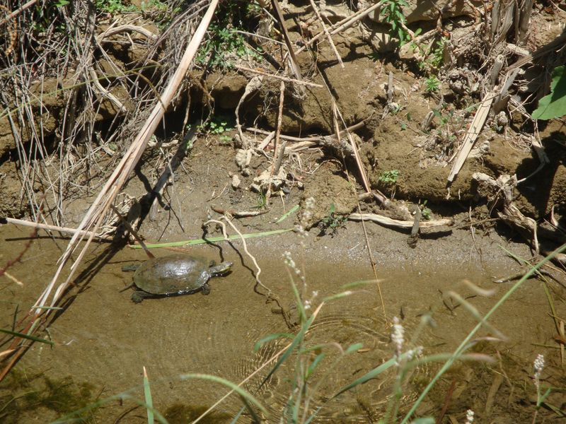010. Turtle on the bank of the river - Damnoni beach, South Crete