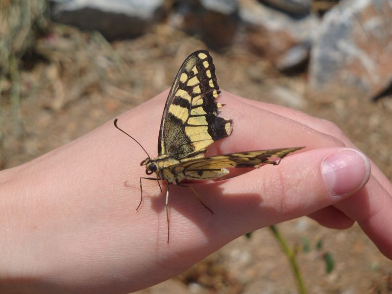 011. Black and yellow butterfly - You can often find such butterflies at South Crete. The butterfly had her wings damaged, so it sat on the arm. After that, we carefully moved it to the flower.