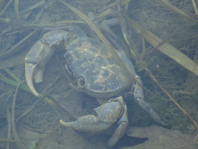 015. Big crab - The river at Damnoni beach, South Crete.