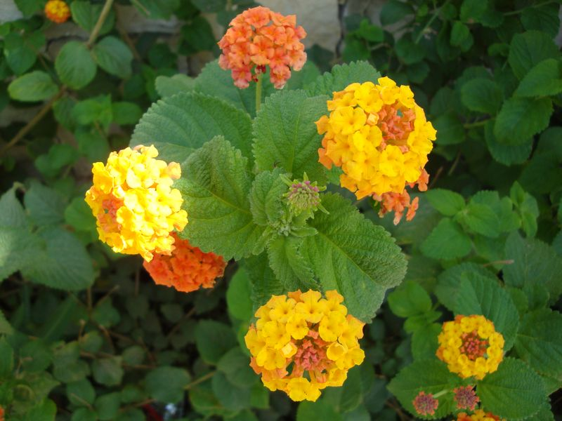 019. Yellow-orange flowers (Lantana camara) - On the way from Mariou (Μαριού) village to Plakias (Πλακιάς) beach, South Crete. We found the plants of Lantana camara on Cyprus, on other Greek islands and in Spain.