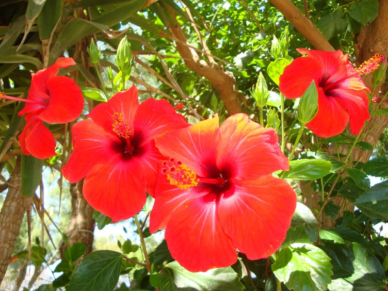 022. Scarlet flame, Hibiscus - South Crete