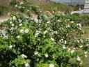 028. Bush with white-pink flowers (Lantana camara) - Damnoni beach, South Crete