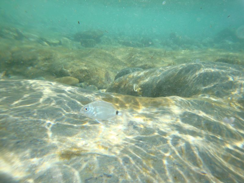 030. Frequent guest of southern shores - Underwater shooting. The right edge (border) of Damnoni beach, South Crete.