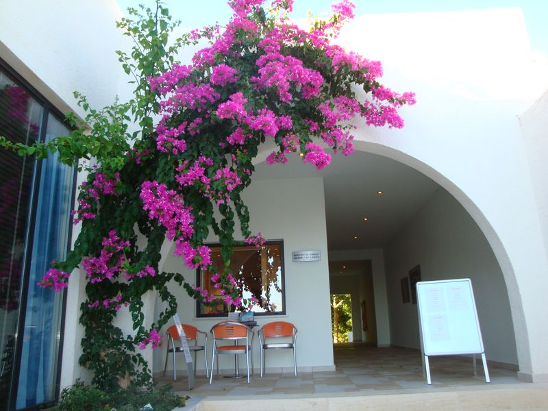 035. Climber ark, Purple Bougainvillea - A timeshare hotel near Damnoni beach, South Crete.