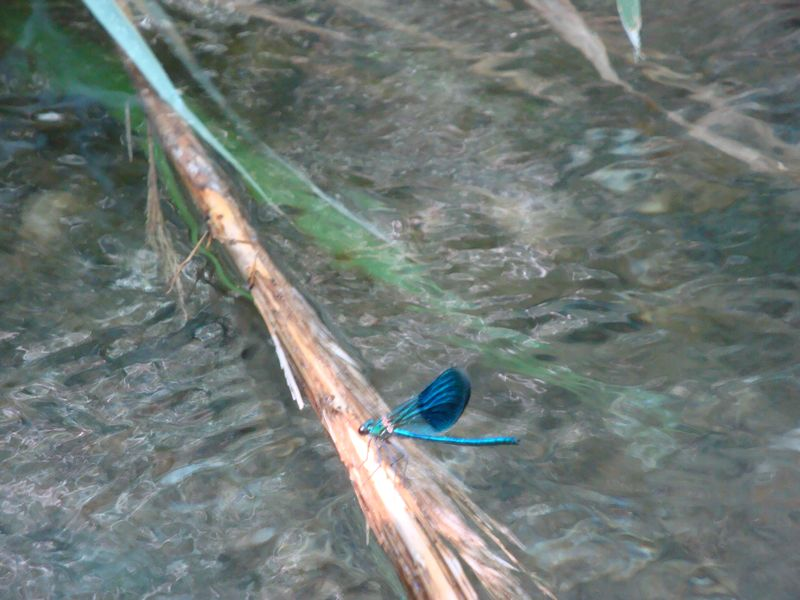 051. Blue dragonfly with two-coloured wings - Barefoot walk along the Megalos Potamos river (Ο Μεγάλος Ποταμός).